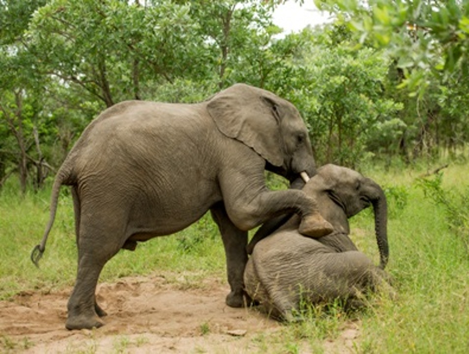"""Tipsy"" Elephants in South Africa Kruger Park  South Africa"