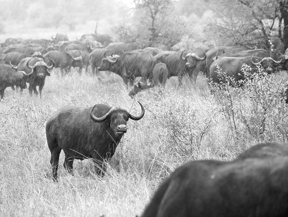Lone Water Buffalo Kruger Park  South Africa