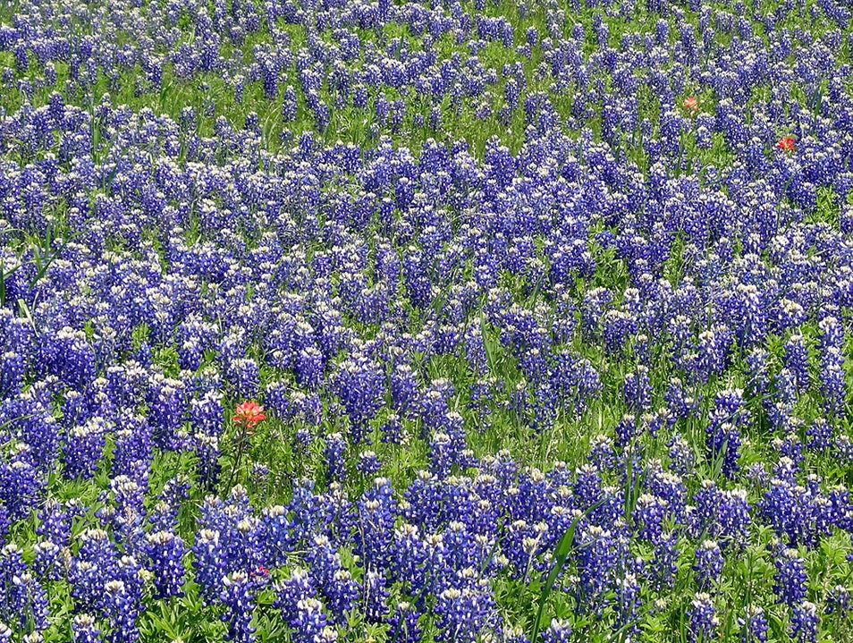Fields of Blue Ennis Texas United States