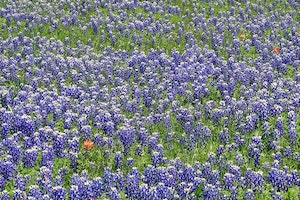 Texas In Bloom