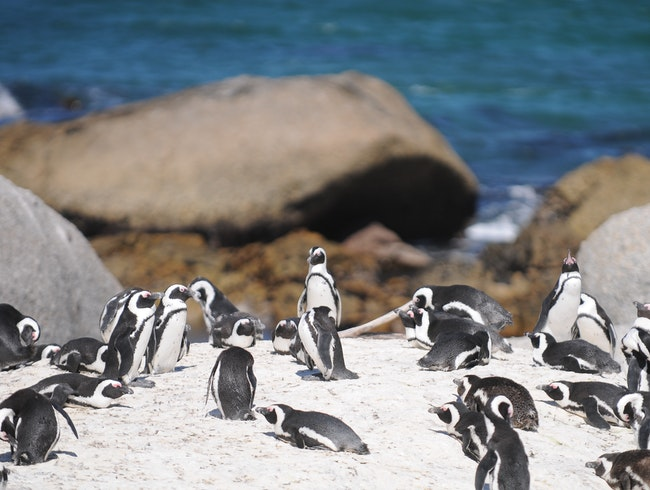 Penguins Take Over the Beach