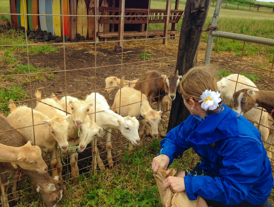 Eat, Drink & Feed Goats at Surfing Goat Dairy on Maui Kula Hawaii United States