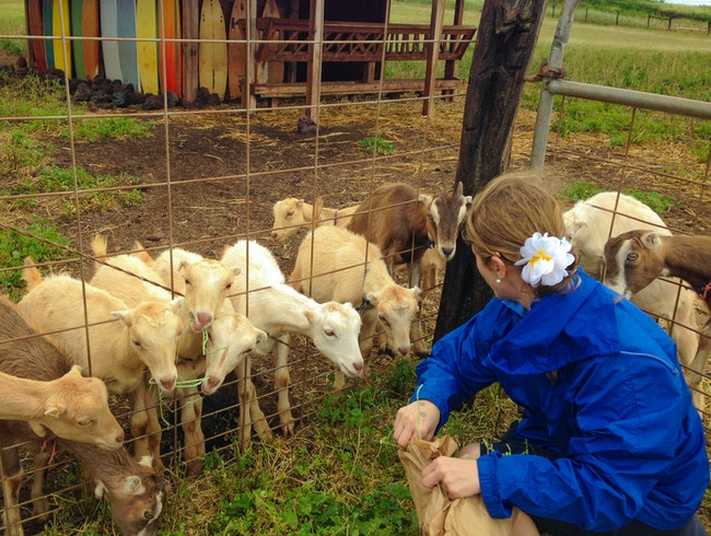 Eat, Drink & Feed Goats at Surfing Goat Dairy on Maui