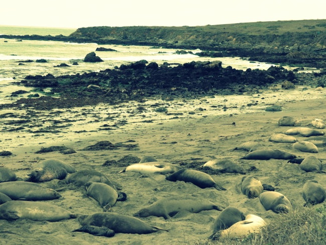 Let's Do it Like They Do On the Discovery Channel | Or, Watching Elephant Seals Breed, Fight and Give Birth