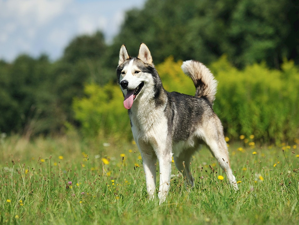 Walk with Huskies