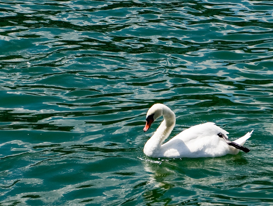 Swan on the Limmat River
