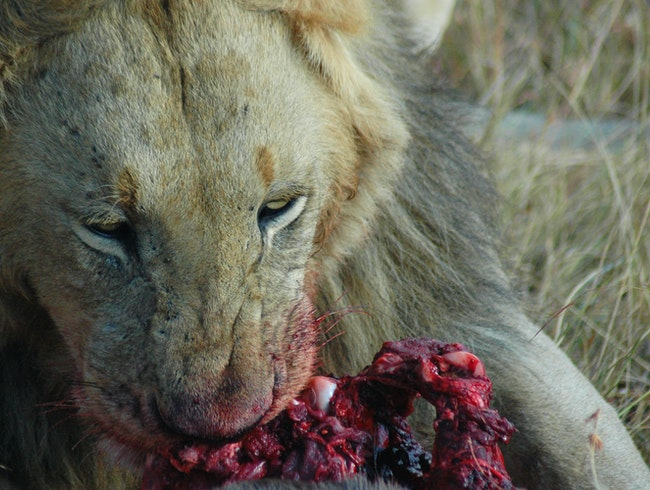 Male Lion Enjoying His Lunch