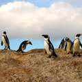 Boulders Penguin Colony Cape Town  South Africa