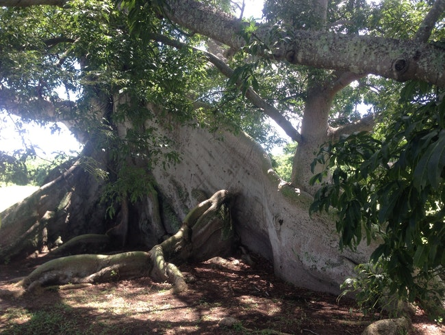 Ancient Tropical Tree Hunting