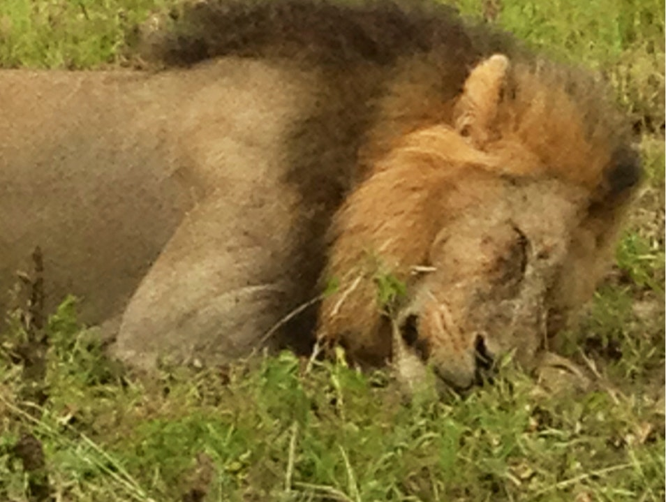 Sleepy Kitty At Ngala Game Reserve South Africa Kruger Park  South Africa
