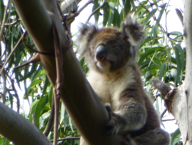 Seeing a Genuine Wild Koala