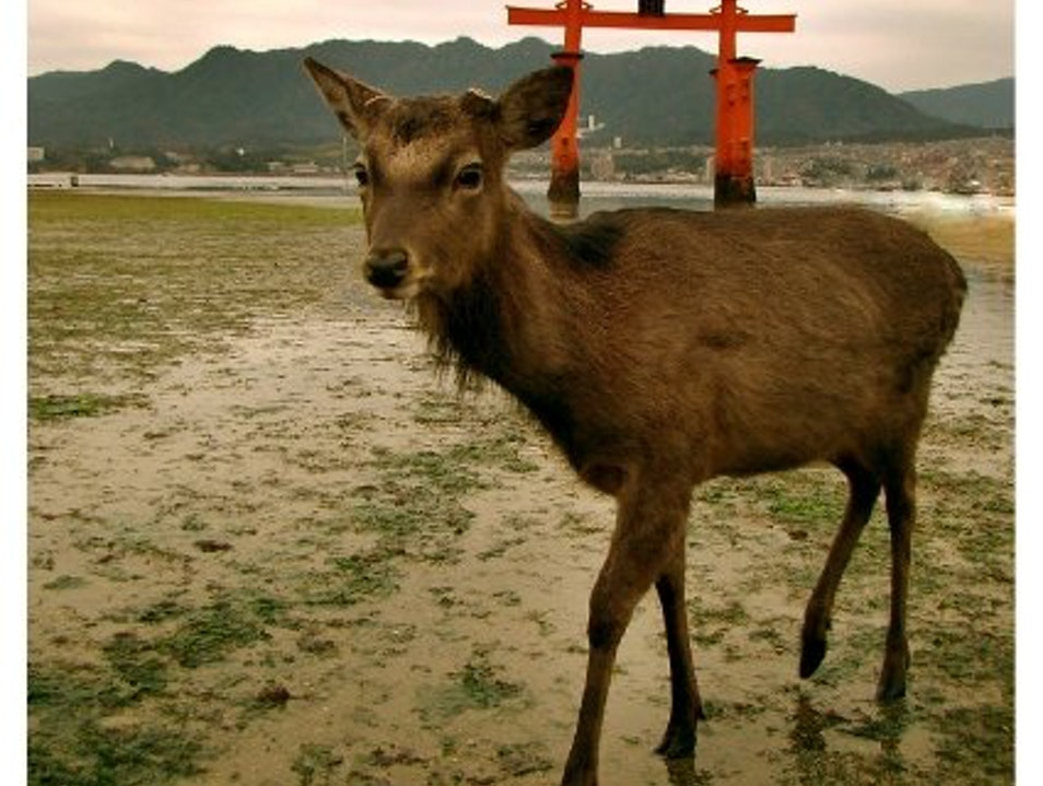 The Wildlife of Miyajima Hatsukaichi  Japan