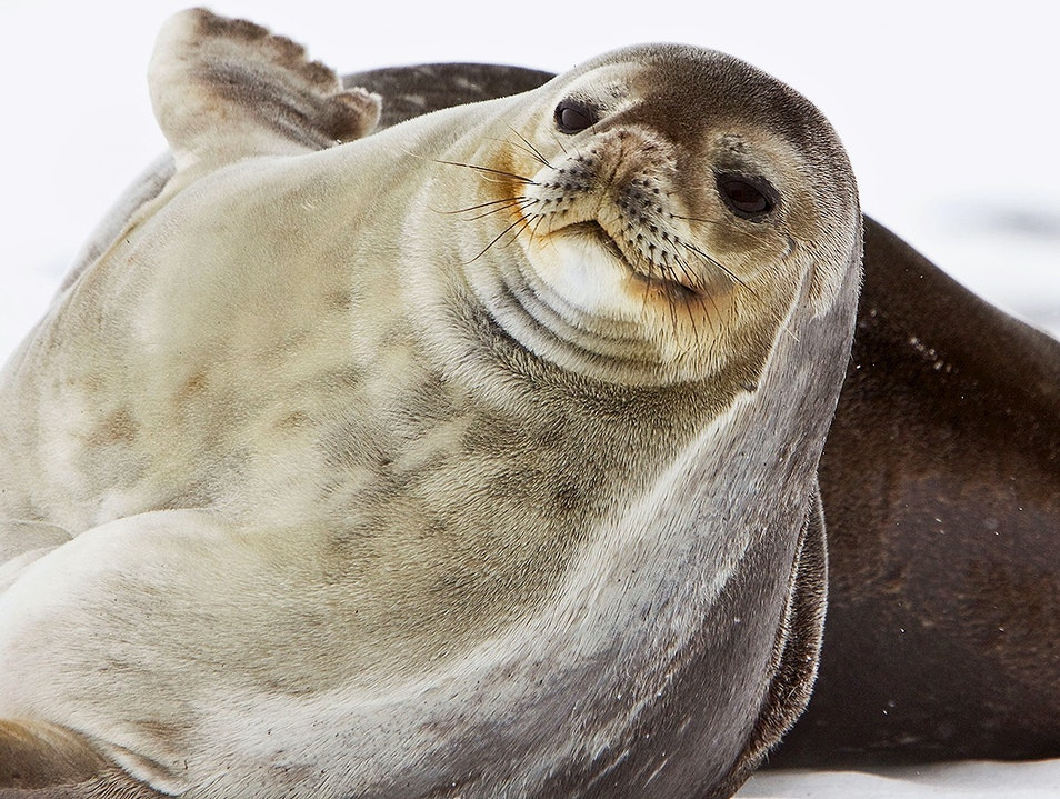 Weddell Seals   Antarctica