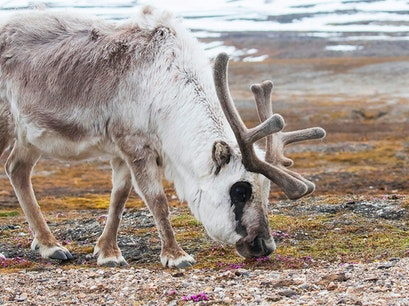 Reindeer Svalbard  Svalbard and Jan Mayen