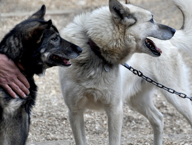 Visit an Alaska Sled Dog Training Camp