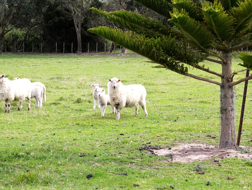 Count the Sheep Cambridge  New Zealand