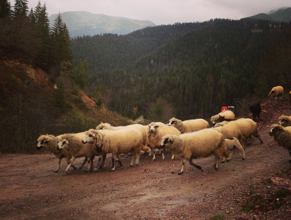 Hiking with sheep in Boge, Rugova Gorge, Kosovo