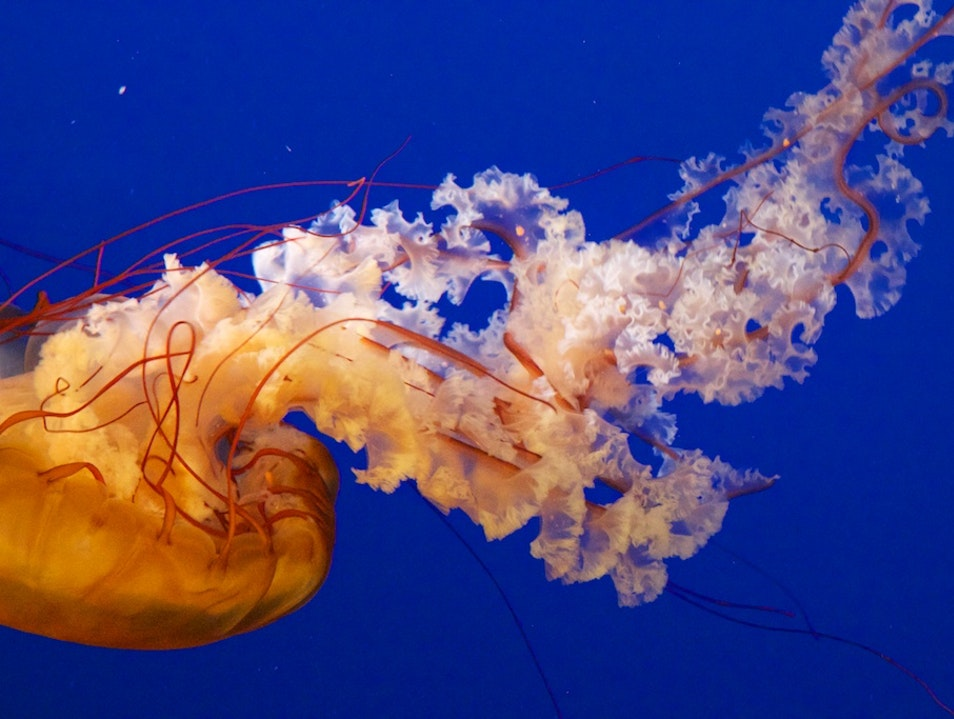 Orange Jellyfish At The Vancouver Aquarium Vancouver  Canada