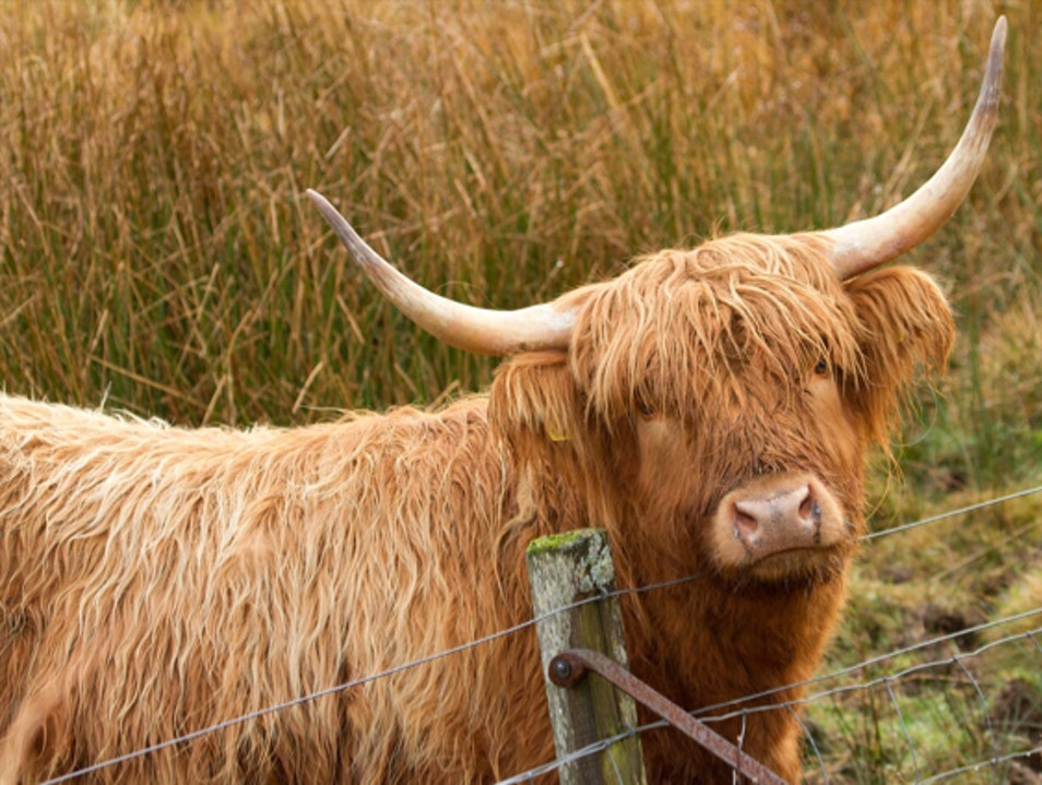 Hairy Coos and James Bond Lochdon  United Kingdom