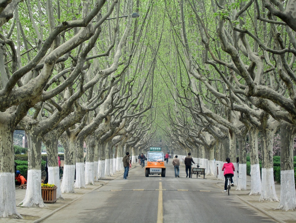 Under the Wutong Trees