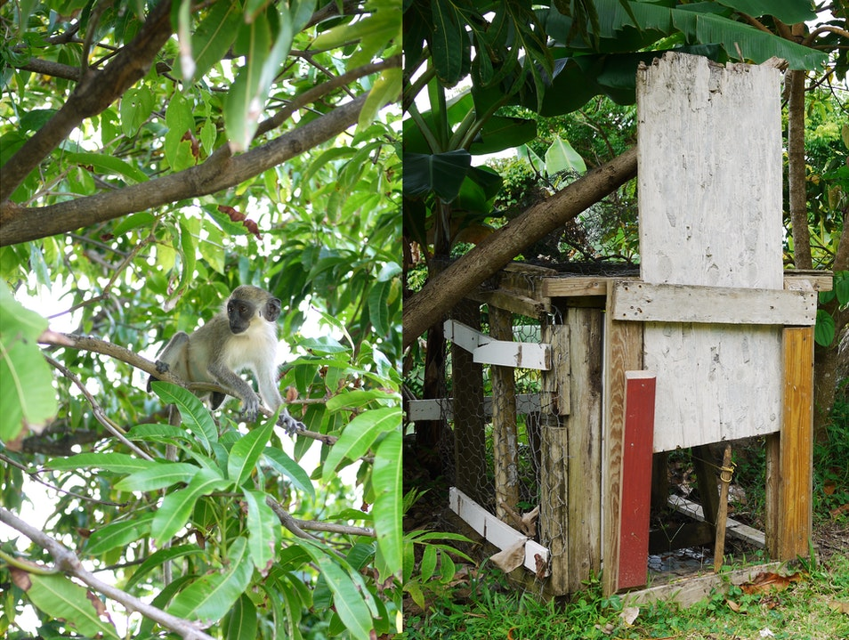 Free monkey/empty trap Charlestown  Saint Kitts and Nevis
