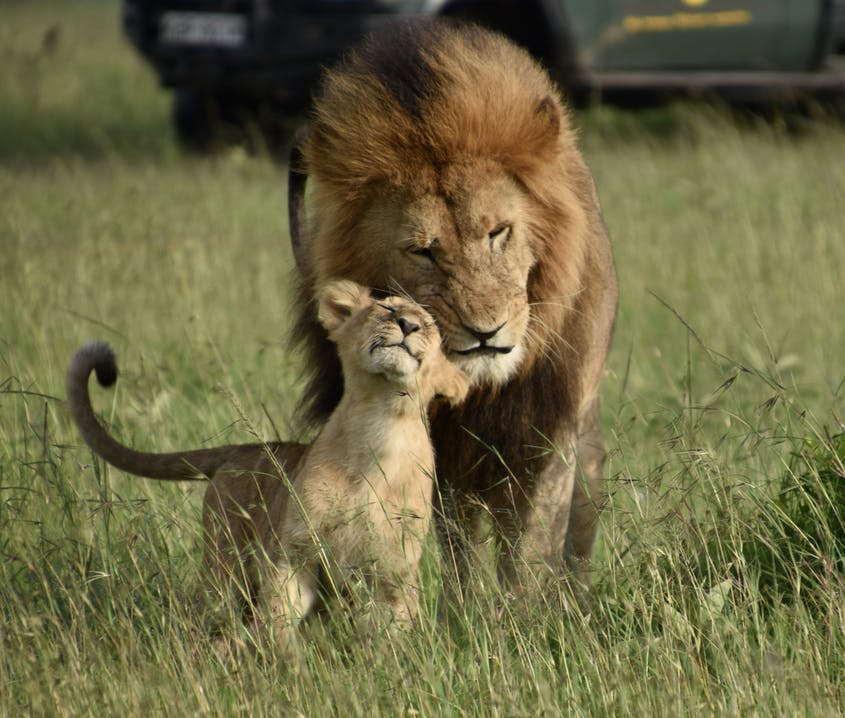It doesn't get much better than witnessing a lion with his cub.