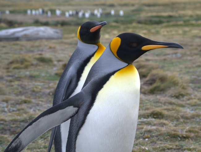 King Penguins in Southern Chile