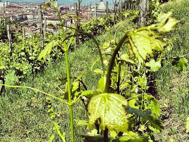 The royal vineyards and the Turin view