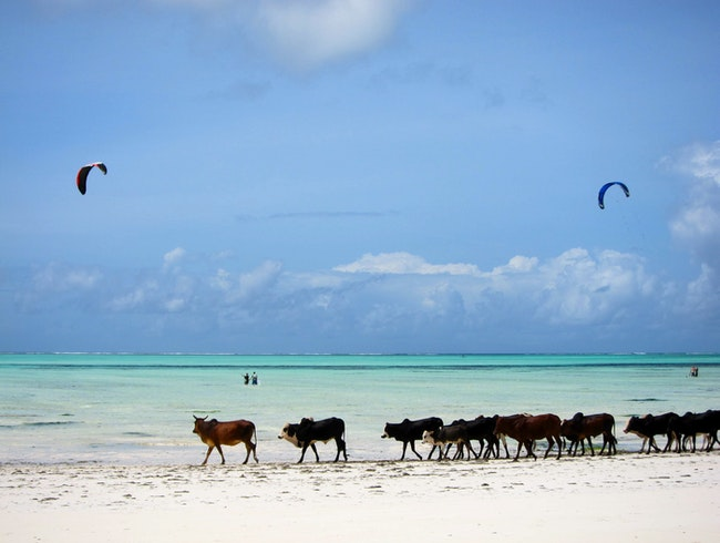 cows and kite boarders