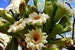Saguaros in Bloom: Early Summer in the Sonoran Desert