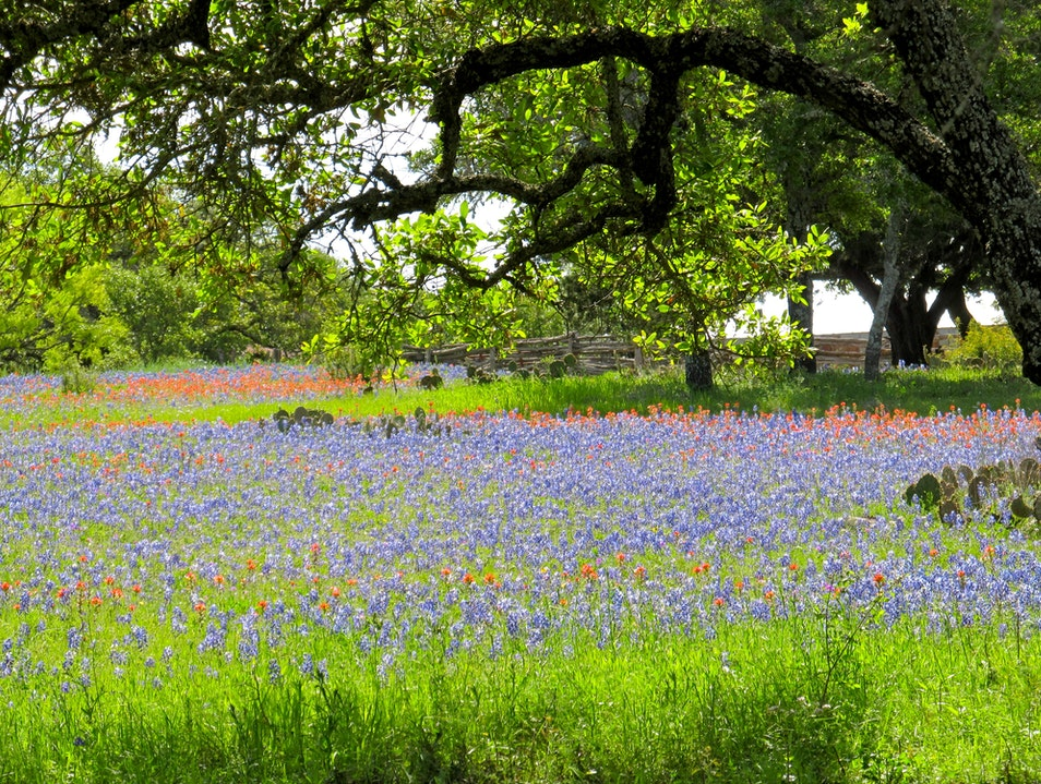 Bluebonnets of Texas Bandera Texas United States