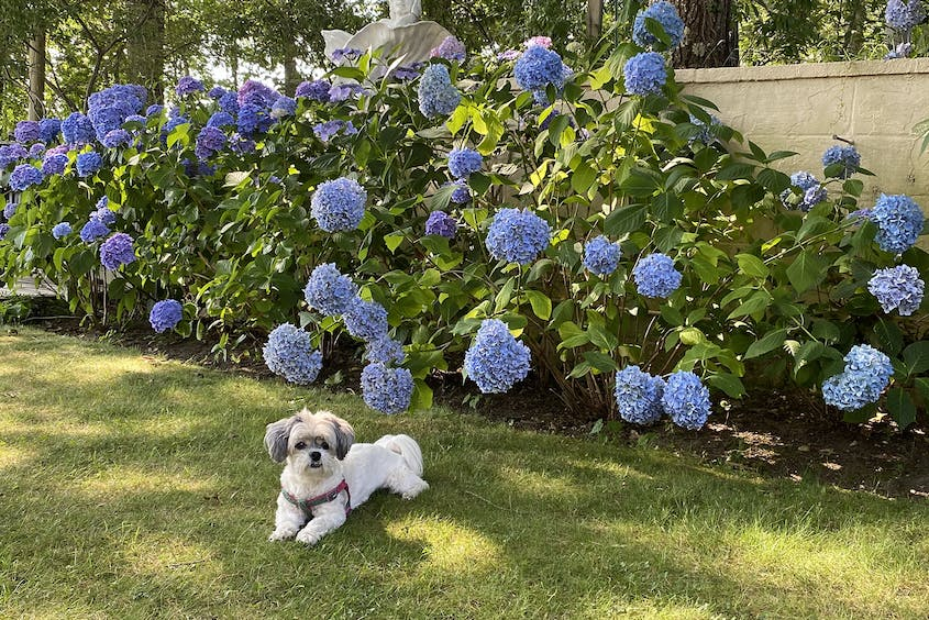 The writer's shih tzu, Agnes, enjoying a family trip to Shelter Island in New York.