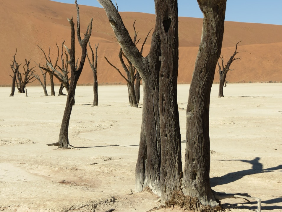The trees of Deadvlei Sossusvlei  Namibia