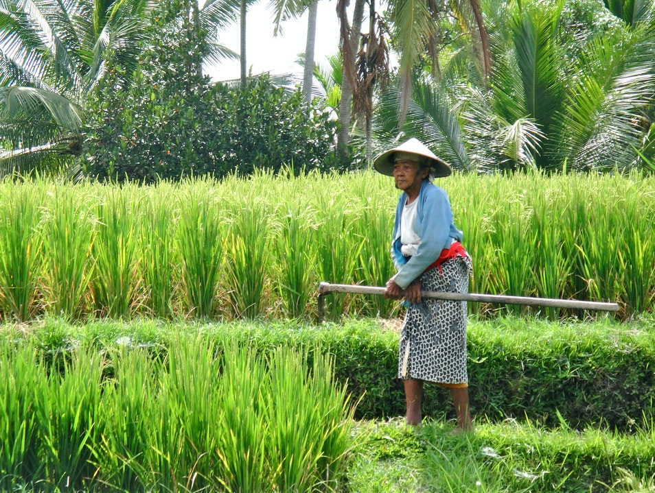 Balinese Rice Paddies Ubud  Indonesia