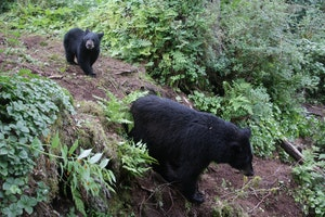 Anan Bear and Wildlife Observatory