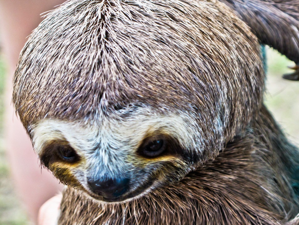 Sloth's cute face - Amazon, Brazil   Brazil