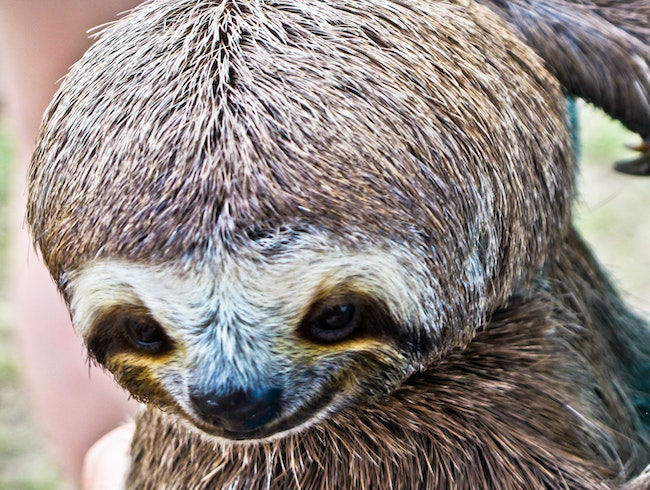 Sloth's cute face - Amazon, Brazil