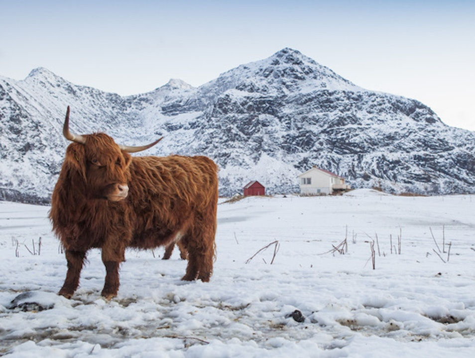 Up Close with a Norsk Highland Cow