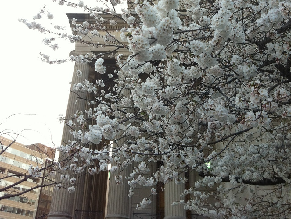 Cherry Blossoms Bloom! Washington, D.C. District of Columbia United States