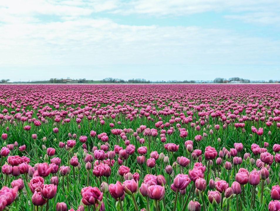 Tulip fields  Swifterbant  The Netherlands