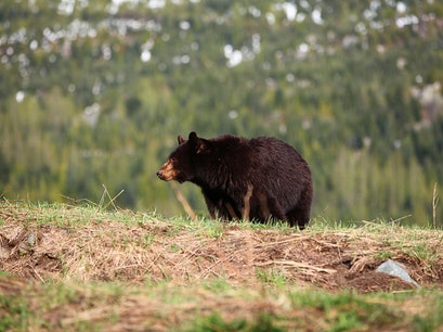 Bear-Viewing Tours Whistler  Canada