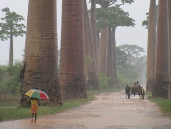 Avenue des Baobabs in the rain