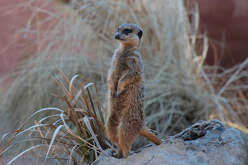 Meerkats of the Kalahari Project
