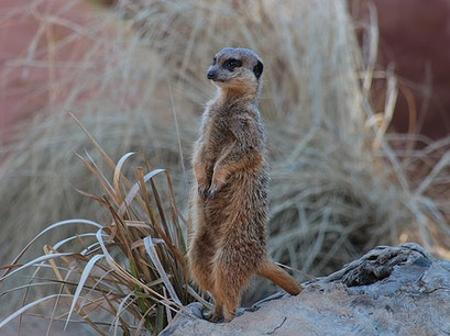 Meerkats of the Kalahari Ngamiland North  Botswana