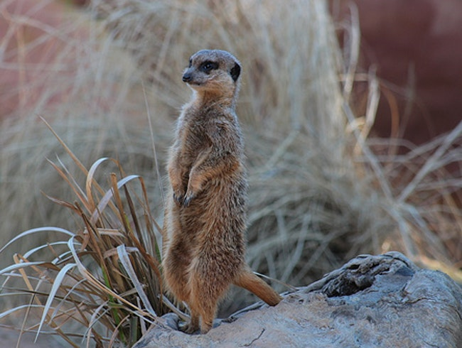 Meerkat Conservation in South Africa