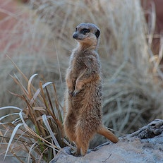 Meerkats of the Kalahari