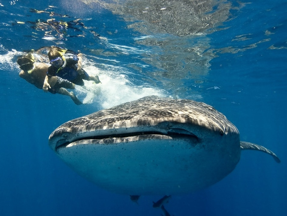 Swimming With Gentle Giants Cancun  Mexico