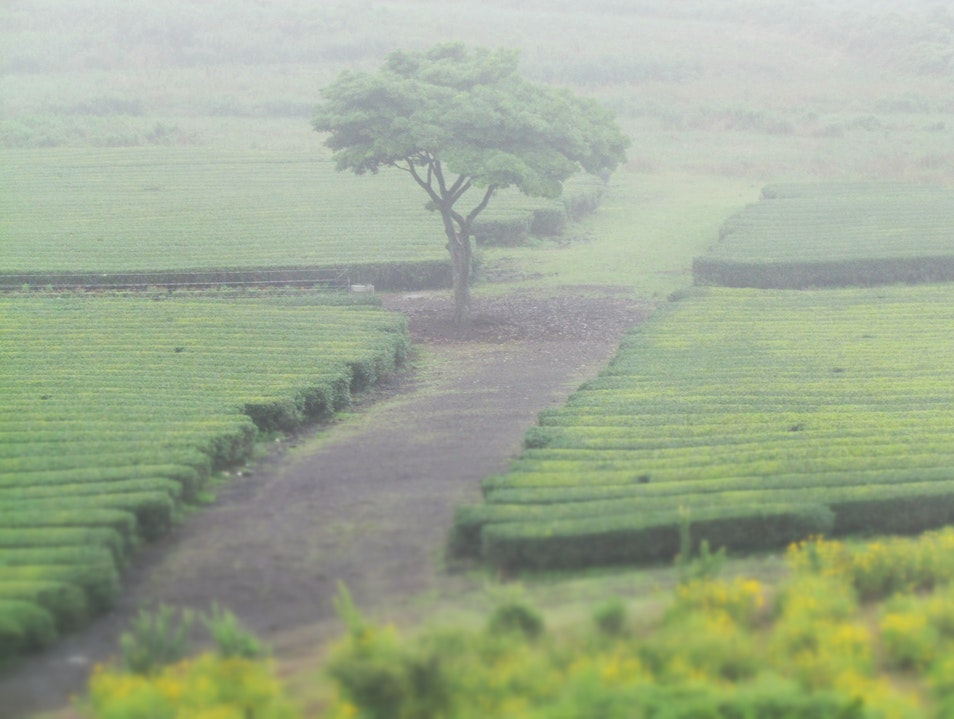 tea fields in the mist Seogwipo  South Korea