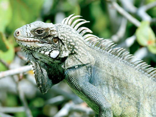 Get a close look at the endangered Rock Iguana