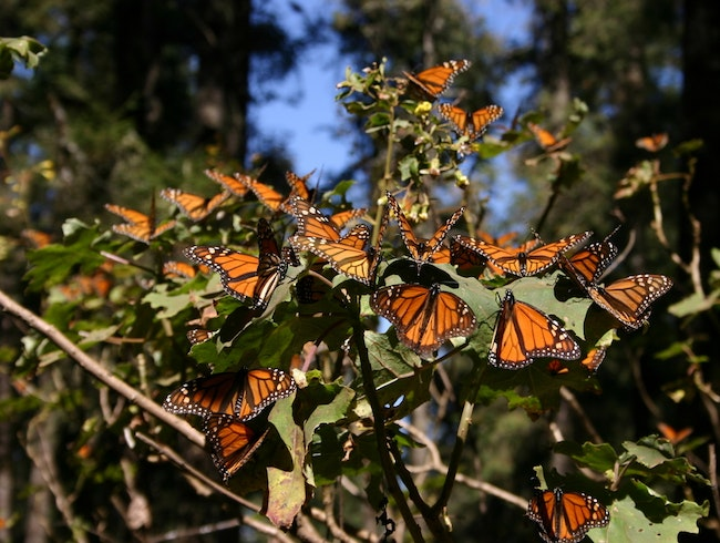 A rabble of monarchs
